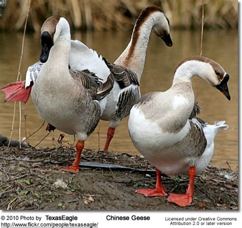 Chinese Geese (Domesticated Geese)