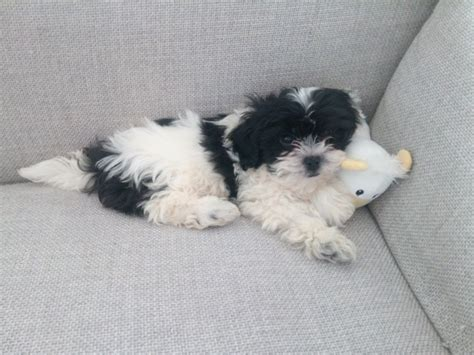 Zuchon puppy for rehoming   Leeds, West Yorkshire   Pets4Homes