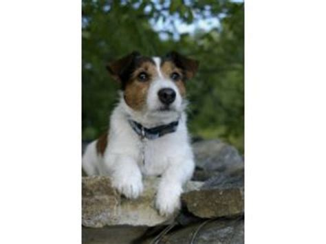 Jack Russell Terrier puppies for sale