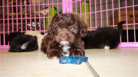 Chocolate, Black, and White ShihPoo Puppies For Sale