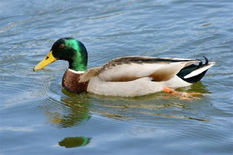 Duck Poop Helps Scientists Sniff out Avian Flu – Guardian
