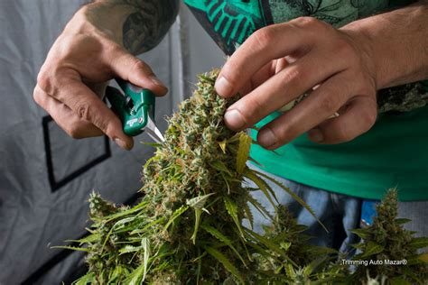 How to dry and cure your cannabis to the highest quality